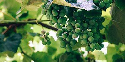 È vero che i primi Celti attraversarono le Alpi attratti dal vino?